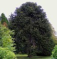A Monkey Puzzle Tree at Kilravock Castle - geograph.org.uk - 1512410.jpg