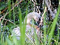 A Nesting Swan at Spynie - geograph.org.uk - 1345646.jpg