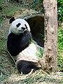 A Panda eating.jpg