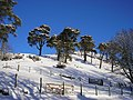 A Stand of scots Pines, Skelfhill - geograph.org.uk - 1153660.jpg