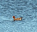 A Wigeon spotted near the family hide at RSPB Old Moor - geograph.org.uk - 1552496.jpg