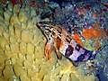 A beige-yellow turreted sponge at Coral Gardens Rooi-els DSC00272.JPG