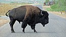 A bison in Caprock Canyon State Park.jpg
