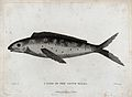 A fish of New South Wales. Etching by P. Mazell after D. But Wellcome V0022869.jpg