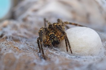 A mother of Zoropsis spinimana caring her babies.jpg