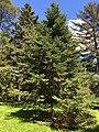 Abies balsamea (Balsam Fir) (29010601138).jpg
