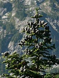 Abies lasiocarpa 26008.JPG