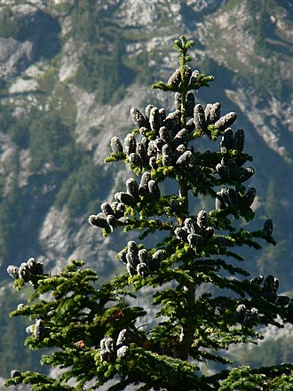 Abies lasiocarpa - Subalpine fir, North Cascades National Park