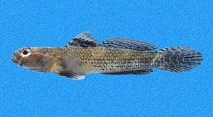 Aboma etheostoma - Male