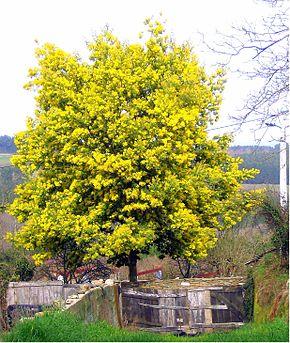 houppier de l'acacia des fleuristes de l'acacia d'hiver