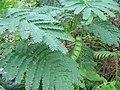 Acacia melanoxylon (Seedling).jpg
