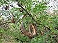 Acacia robusta, peule, Schanskop.jpg