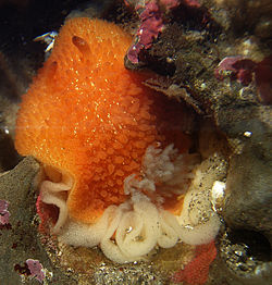Acanthodoris lutea laying eggs 1.jpg