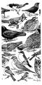 Accompany Manual of Bird Study-0008.png