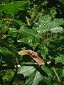 Acer campestre.jpg