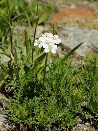 Achillea erba-rotta (plant)