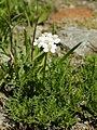 Achillea erba-rotta (plant).jpg