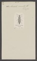 Acidota - Print - Iconographia Zoologica - Special Collections University of Amsterdam - UBAINV0274 015 05 0017.tif