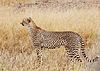 Acinonyx jubatus - female cheetah.jpg