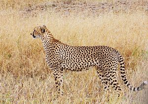 Tanzanian cheetah - A tall female cheetah at Tarangire National Park, Tanzania