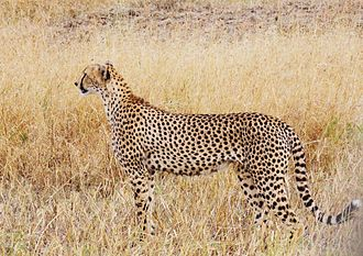 East African cheetah - A tall female cheetah at Tarangire National Park, Tanzania