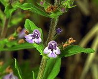 Acinos arvensis 206-06-26