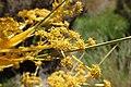 Aciphylla colensoi kz4.jpg