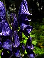 Aconitum IMG 4398.jpg