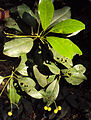 Acronychia pedunculata 08.JPG