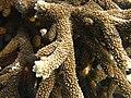 Acropora robusta Macro Maldives.jpg