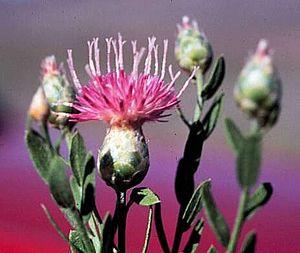 Flora of Azerbaijan - Acroptilon repens