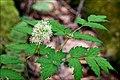 Actaea pachypoda (1).jpg