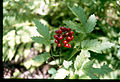 Actaea rubra 3-eheep (5097815878).jpg