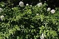 Actaea rubra Lännenkonnanmarja C IMG 3356.JPG