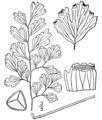 Adiantum capillus-veneris drawing.png