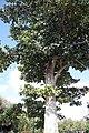 Adina cordifolia 7zz.jpg