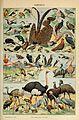 Adolphe Millot oiseaux-pour tous B.jpg