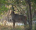 Adult male nilgai browsing in trees outside Burla.jpg
