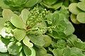 Aeonium canariense Buds.JPG