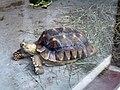 African Spurred Tortoise (2777551449).jpg