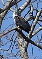 African fish eagle, Haliaeetus vocifer, at Lake Chivero, Harare, Zimbabwe (21908307606).jpg