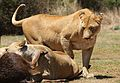 African lion, Panthera leo feeding at Krugersdorp Game Park, South Africa (29443312364).jpg