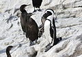 African penguin, Spheniscus demersus, at Stony Point, Betty's Bay, Western Cape, South Africa (24629796234).jpg