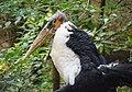 Afrikai marabu Pécs.jpg