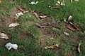 Agama femelle ponte d'œufs 02.jpg