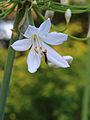Agapanthus (bloem) 02.JPG