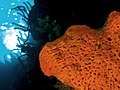 Agelas clathrodes (Orange Elephant Ear Sponge).jpg