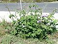Ageratum houstonianum plant3 (11508969636).jpg