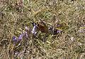 Aglais io - European Peacock.jpg