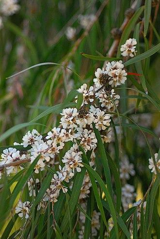 Agonis flexuosa - Flowers of A. flexuosa